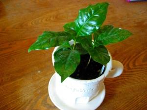 コーヒーの木(2014年10月6日)